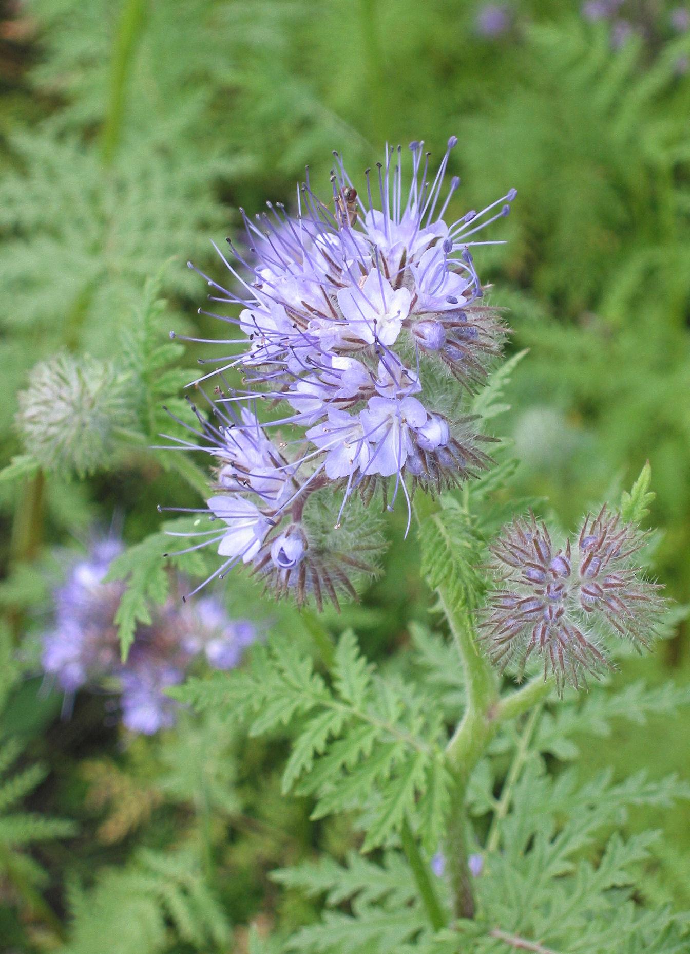 phaceliatanacetifoliaphacelia