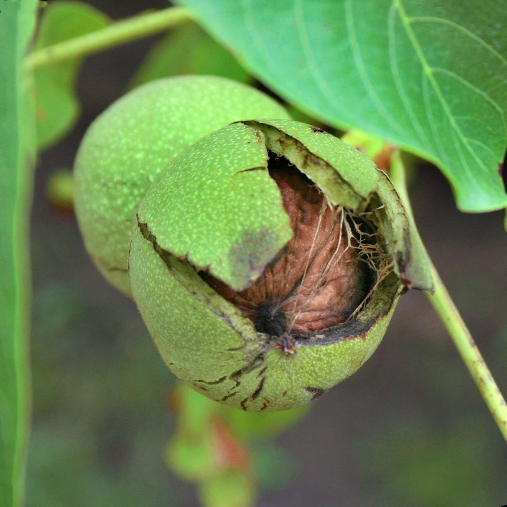walnutshome