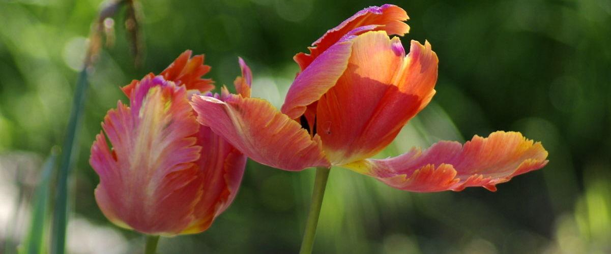 tulipe AFdP
